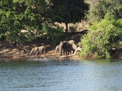 Elephants having a drink on the banks of the Chobe.