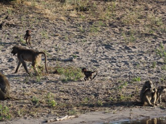 In spite of my murderous rage at baboons, I think the babies are cute.