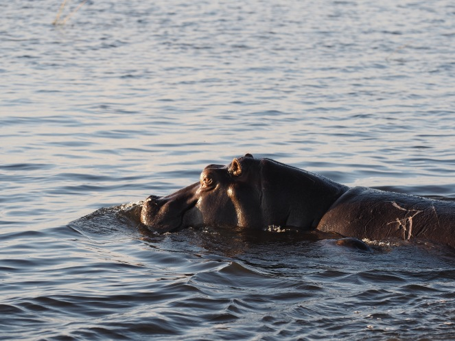 Hippos on Chombe river.